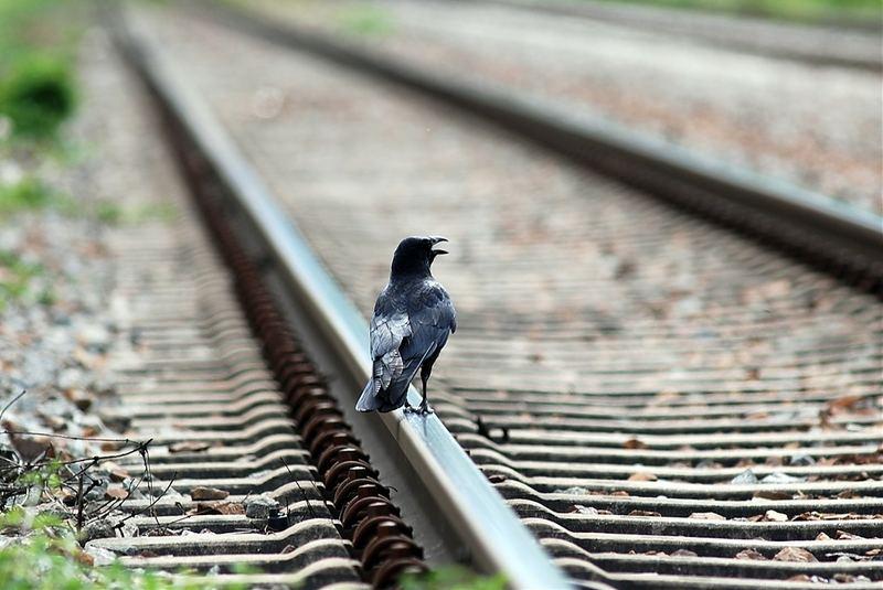 Suicide Crow