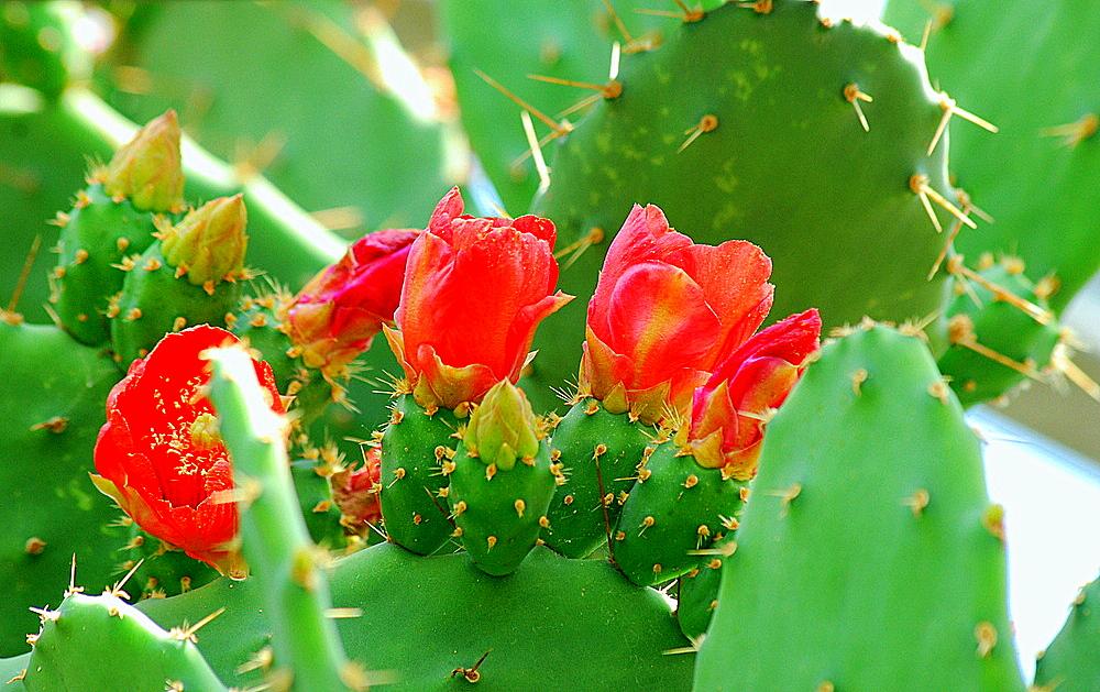 Sukulenten / Kaktusfeige