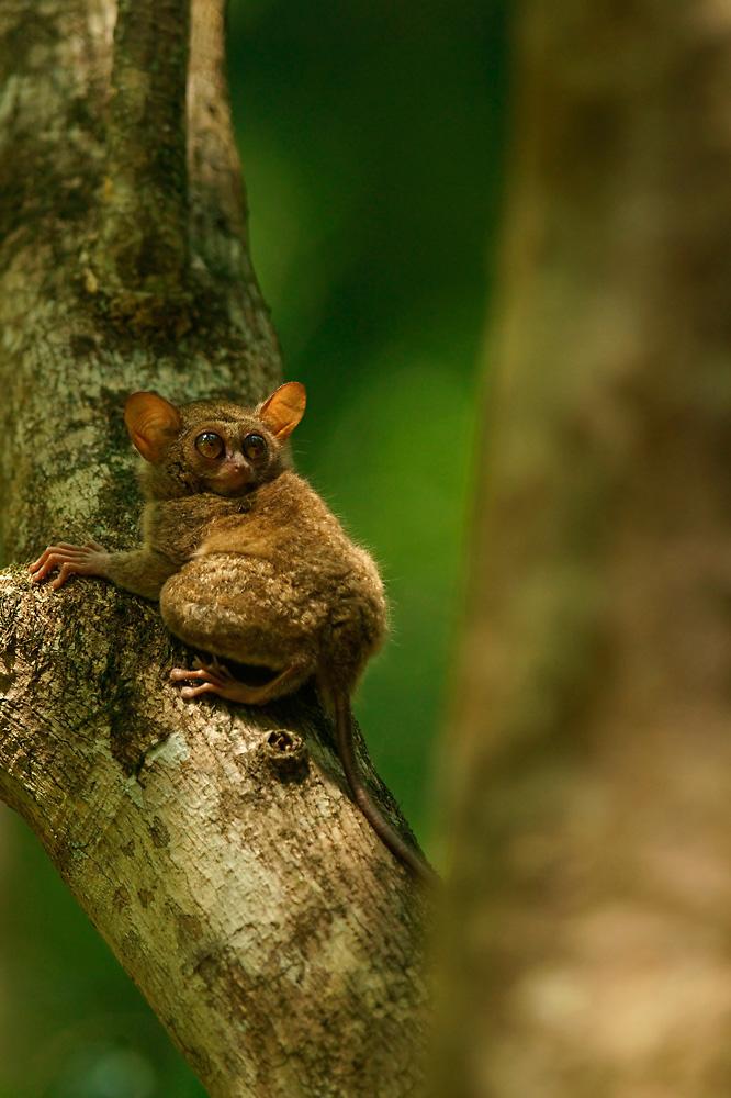 Sulawesi-Koboldmaki