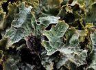 Sulcata-Flechte (Parmelia sulcata)