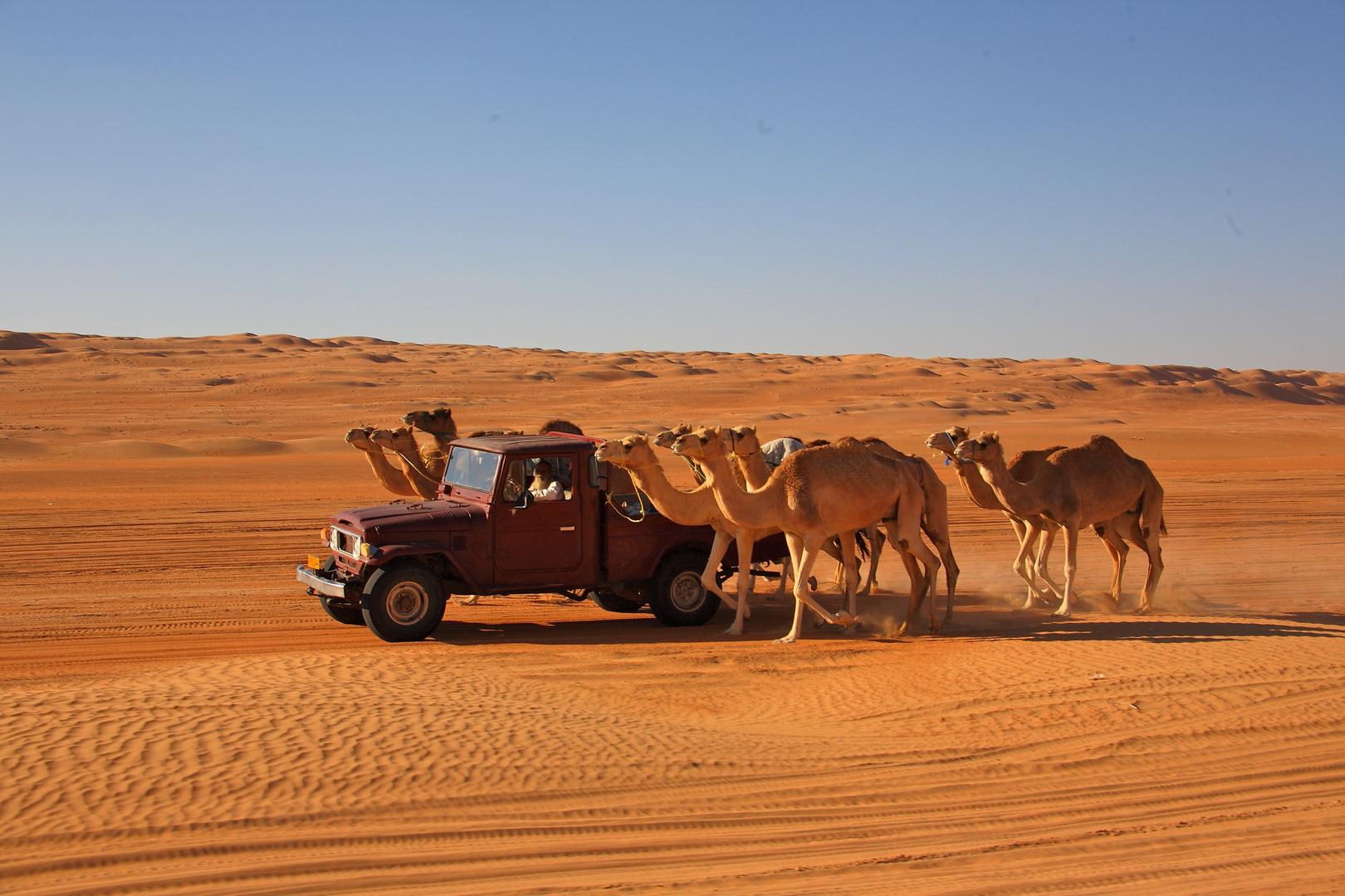 Sultanat d'Oman: chameaux de course à l'entraînement.