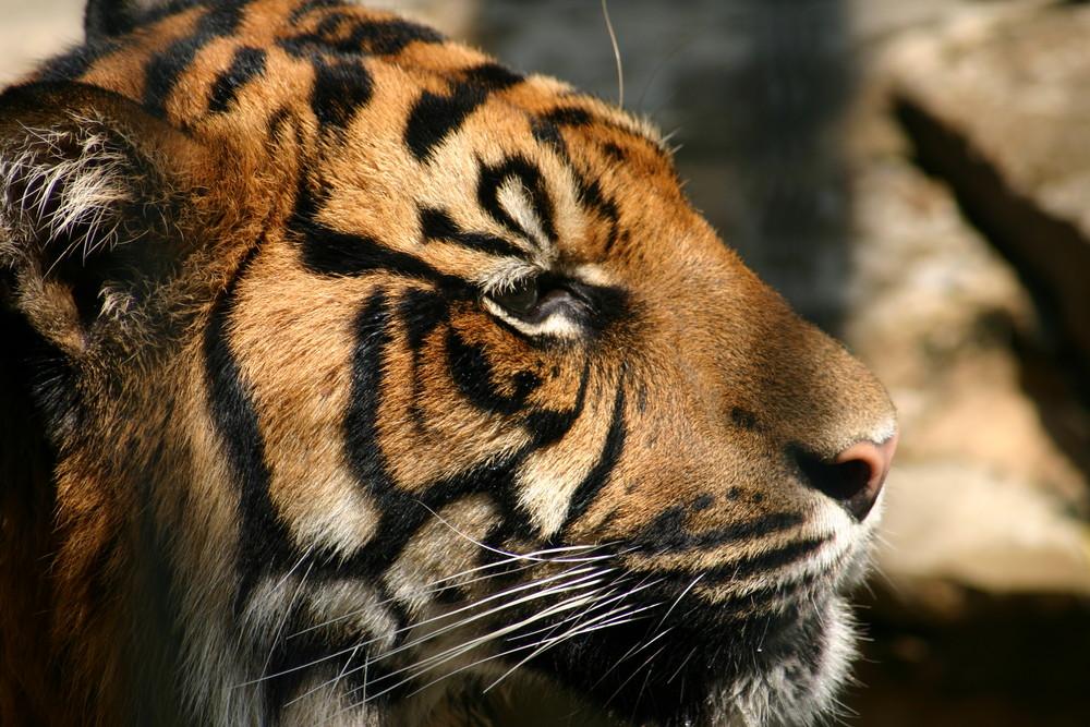 Sumatra Tiger