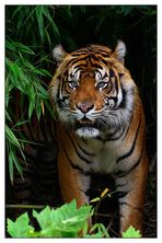° Sumatra Tiger °