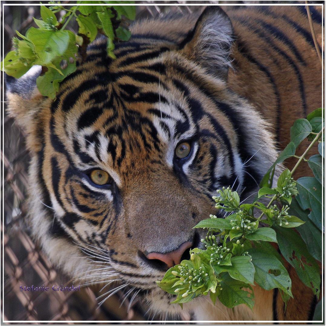 Sumatra Tiger aus dem Zoo auf Oahu