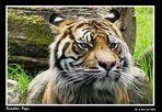 Sumatra - Tiger im Augsburger Zoo (Jaques)