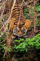 Sumatra Tiger im Frankfurter Zoo