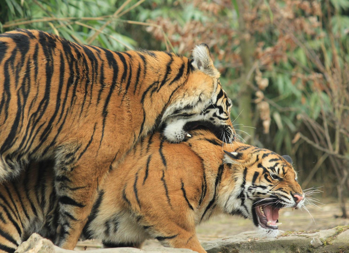 Sumatra-Tiger Zoo Krefeld