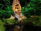 Sumatratiger an der Tränke