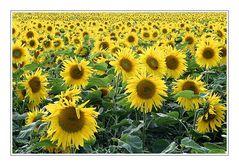 Summer featuring Sunflowers