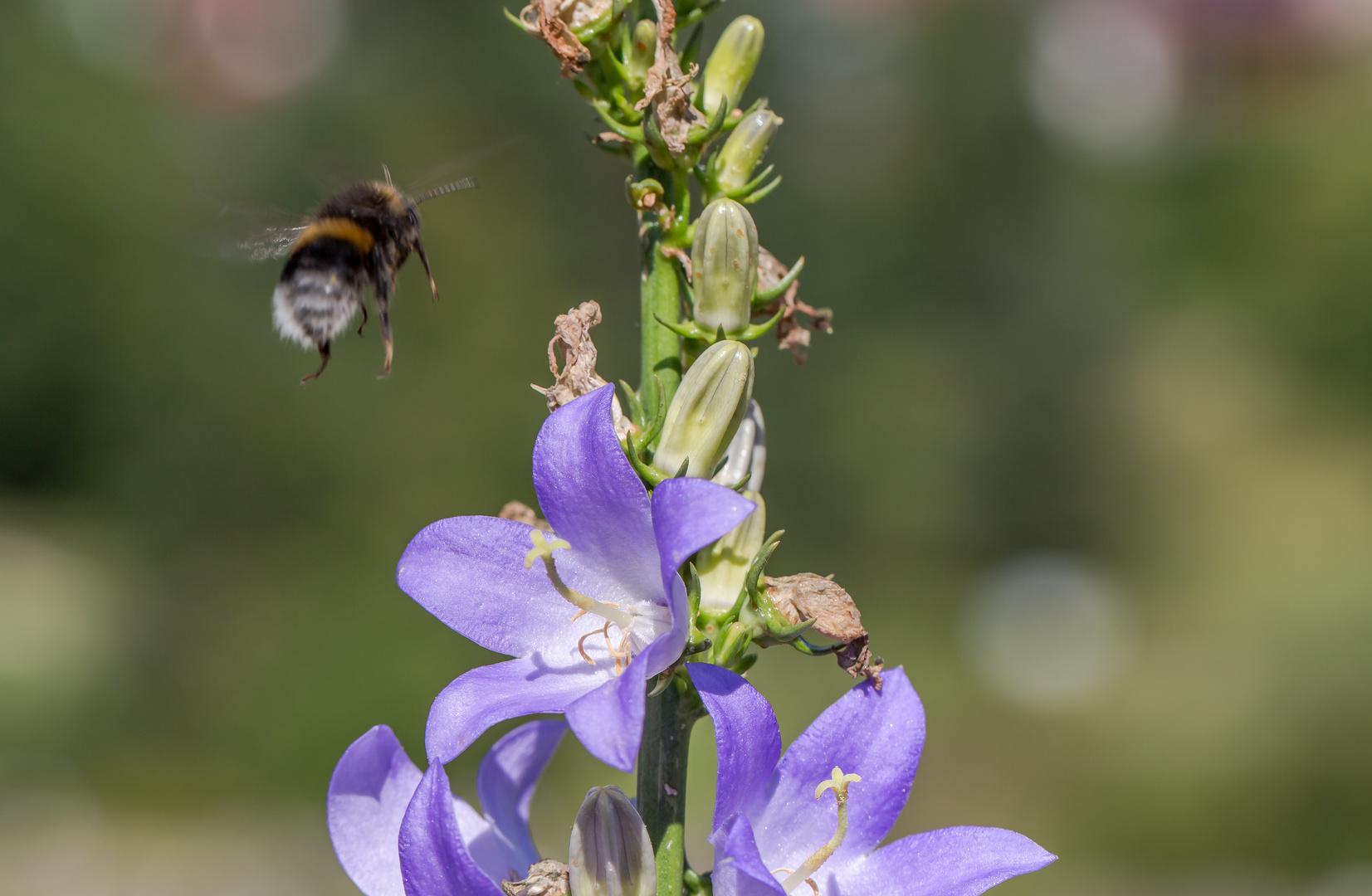 Summses auf die Blüte