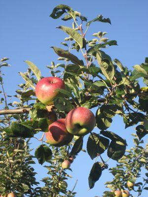 sumo de manzana