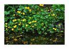 Sumpf-Dotterblumen