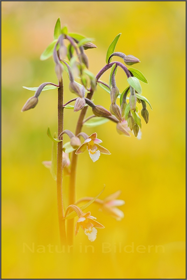 Sumpf-Stendelwurz - Epipactis palustris