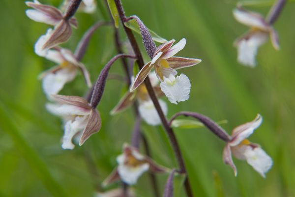 Sumpf-Stendelwurz, wild wachsende Orchidee