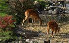 Sumpfantilope