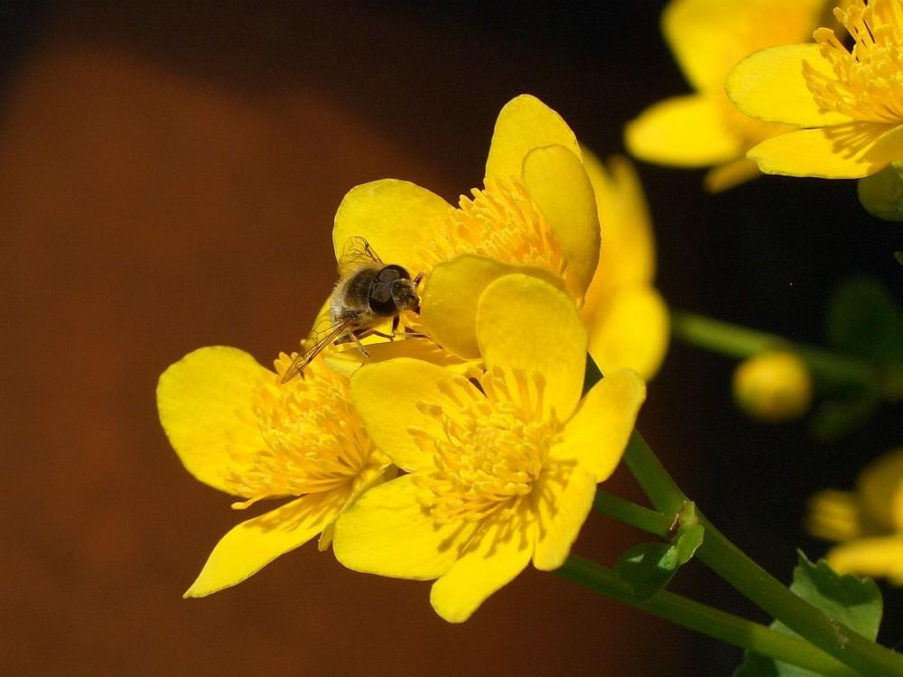 Sumpfdotter-Biene