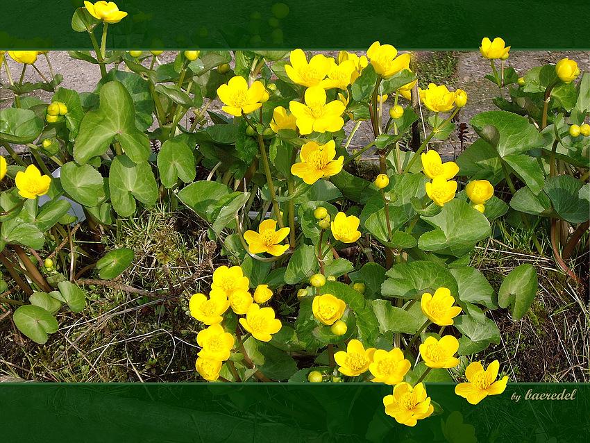 Sumpfdotter- blume (caltha palustris) * eine ganze Wanne voll...