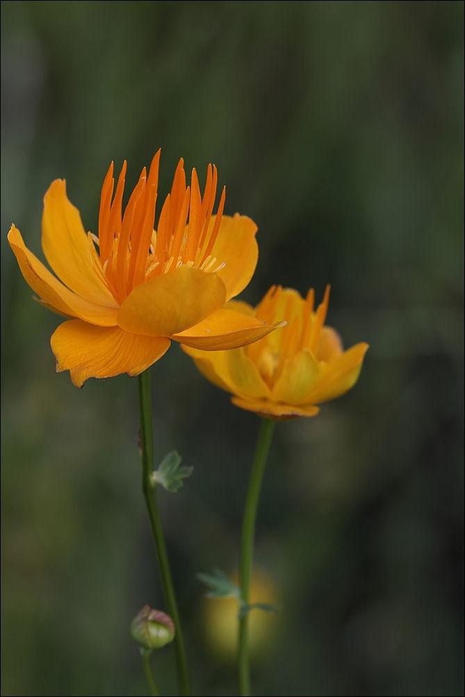 Sumpfdotterblume ist eine Trollblume :-)))