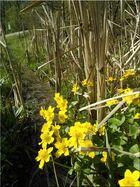 Sumpfdotterblumen (Caltha palustris)