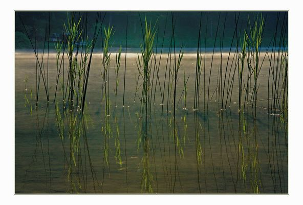 Sumpfgrass