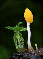 Sumpfhaubenpilz ( Mitrula paludosa)