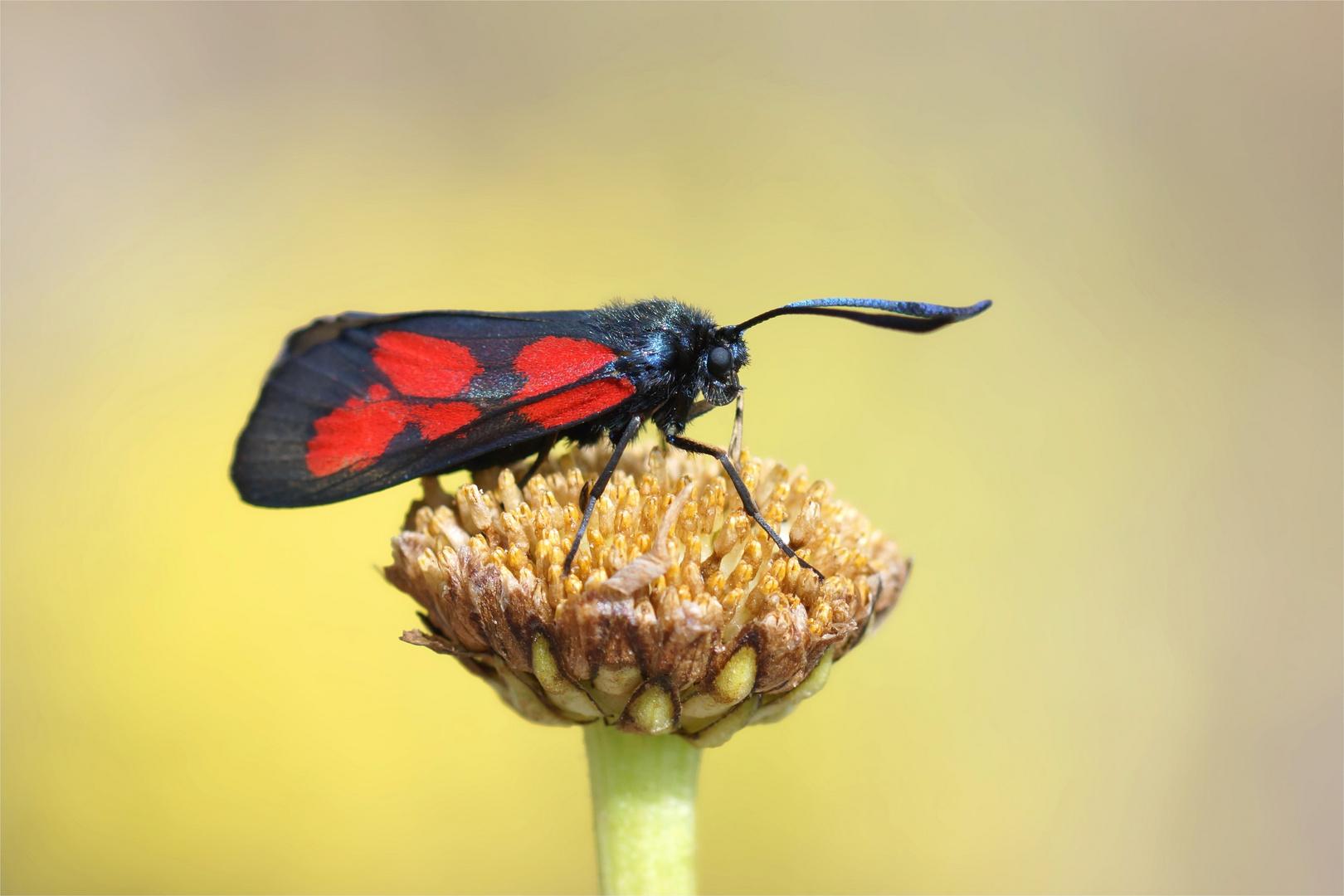 Sumpfhornklee-Widderchen (Zygaena trifolii).