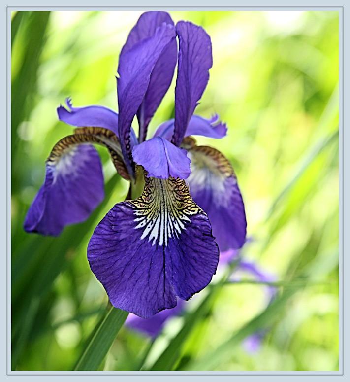 sumpflilie schwertlilie iris blau foto bild pflanzen pilze flechten bl ten. Black Bedroom Furniture Sets. Home Design Ideas