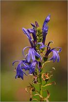 Sumpflobelie (Lobelia sessilifolia) als Blümchen zum Mittwoch, ...