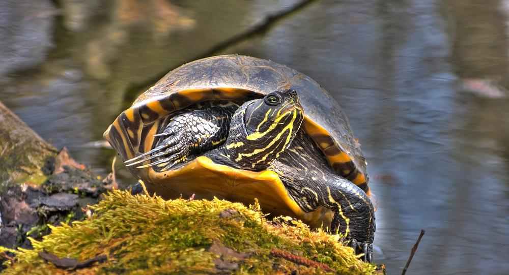 Sumpfschildkröte im Ostenmeer
