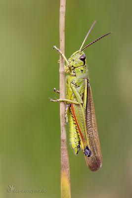 Sumpfschrecke (Stethophyma grossum) - Männchen