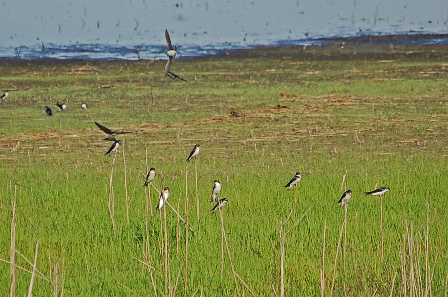 Sumpfschwalben - Tree Swallow (Tachycineta bicolor)