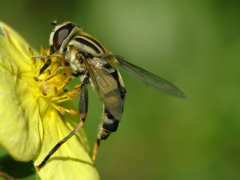 Sumpfschwebfliege beim Pollen naschen