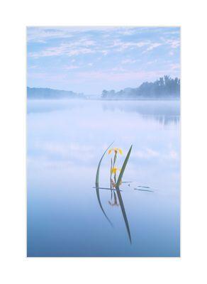 Sumpfschwertlilie in Hochwasser und Nebel