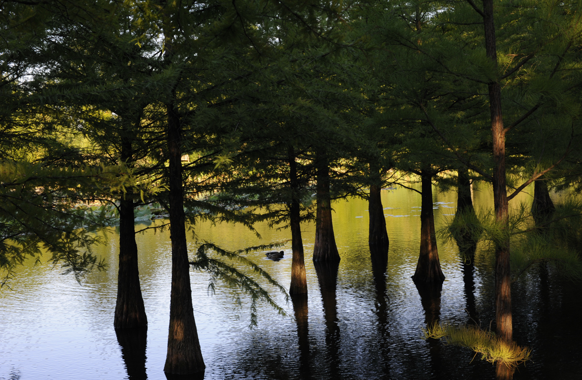 Sumpfzypressen im Arboretum Ellerhoop