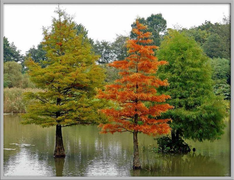 Sumpfzypressen im Herbst
