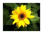 ~ Sun-Flower ~