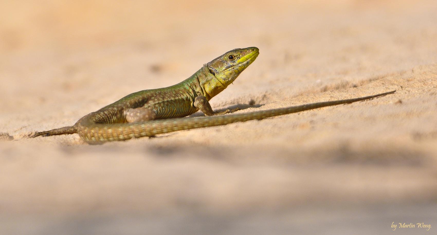 sun lovin lizard