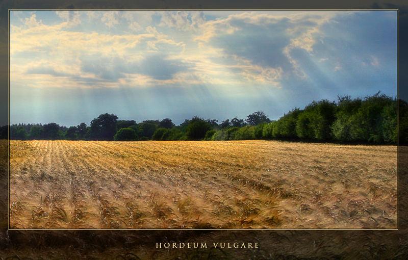 Sunbeam on Field