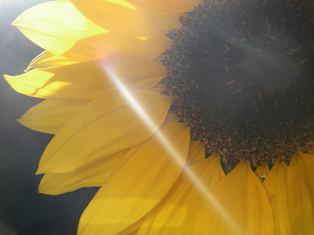 Sunbeam & Sunflower