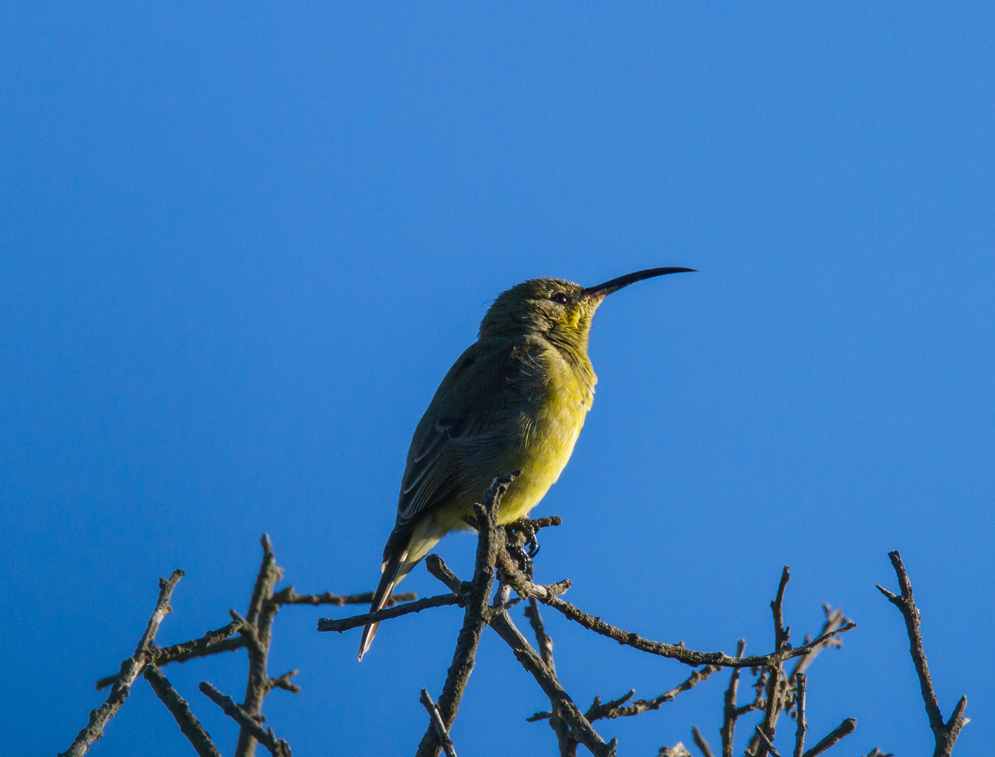 Sunbird am morgen..