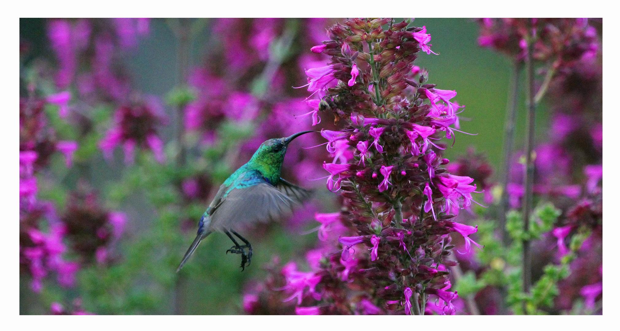 Sunbird in Kirstenbosch Gardens