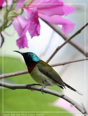 Sunbird in Xiamen