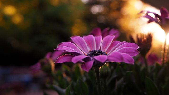 Sundowner-Flower