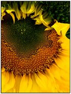Sunflower 5