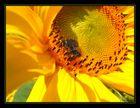 *** sunflower ***