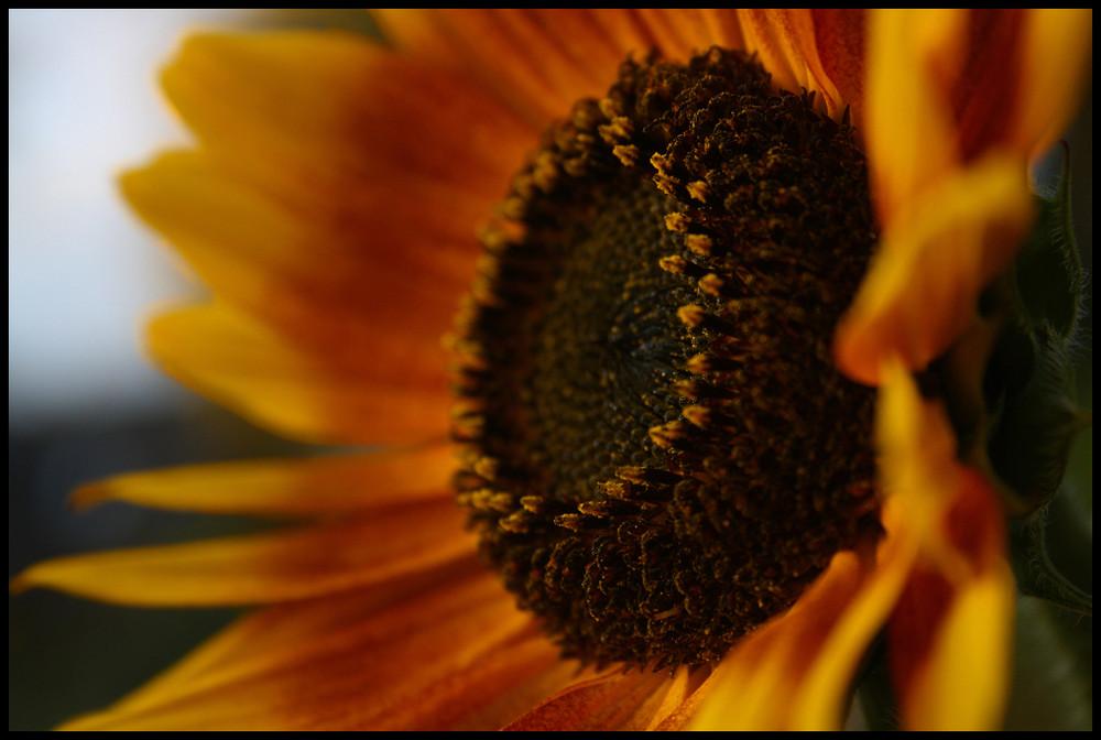 ..:SunFlower:..