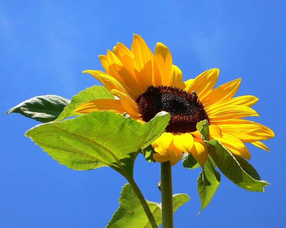 ~ Sunflower ~
