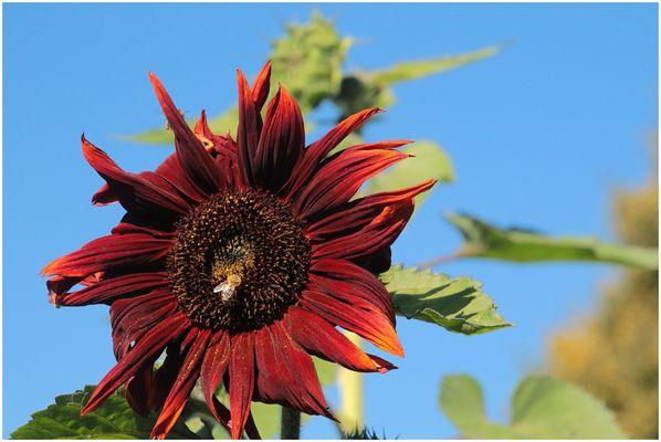 Sunflower Colors