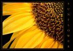 Sunflower die dritte...