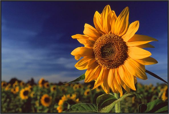 Sunflower Facing The Setting Sun